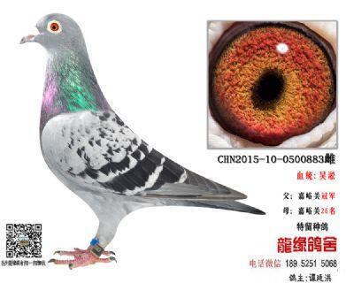 吴淞超远程种鸽4