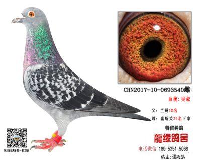 吴淞精品种鸽3