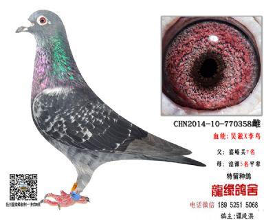 吴淞李鸟种鸽4