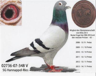 德国全国鸽王。奥林匹克代表鸽