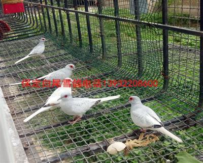 澳大利利亚博雪鸽