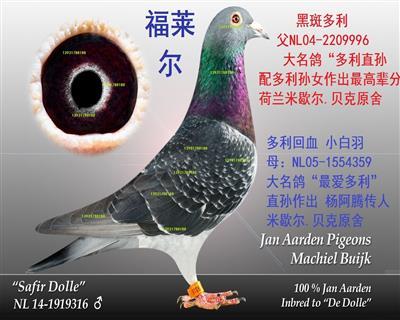 杨阿腾★★福莱尔★幼鸽预定4000元一对