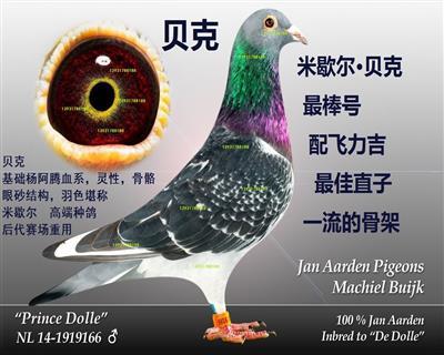 杨阿腾★米歇尔用自己的名字命名★预定幼鸽