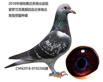 杨阿腾近亲返祖紫罗兰预留种雌