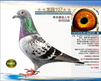 幼鸽纯品系 4