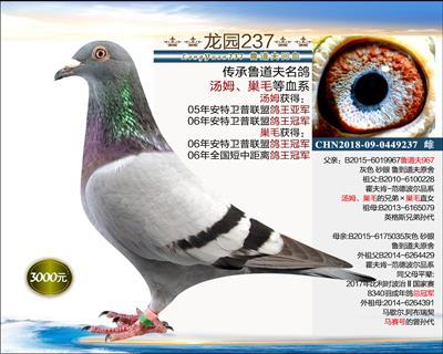 幼鸽纯品系 10