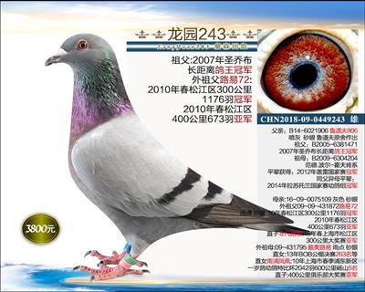 幼鸽纯品系 2