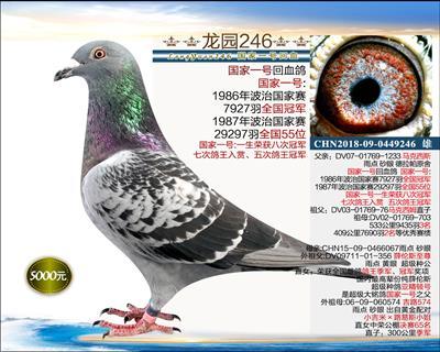 幼鸽纯品系 1(已转让)