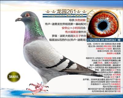 幼鸽纯品系 6