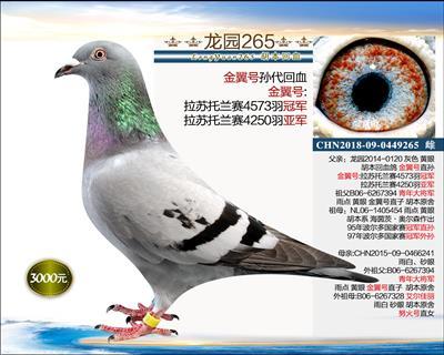 幼鸽纯品系 9(已转让)