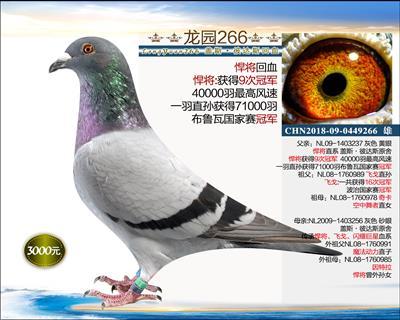 幼鸽纯品系 3