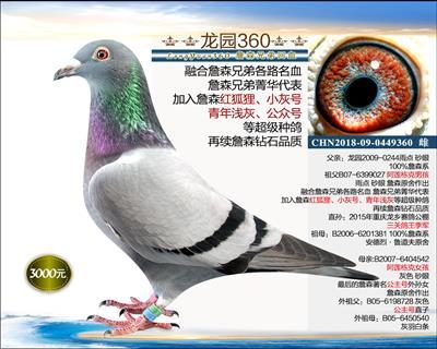 幼鸽纯品系 8(已转让)