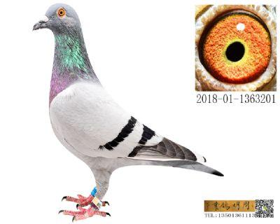 长阳四关鸽王252