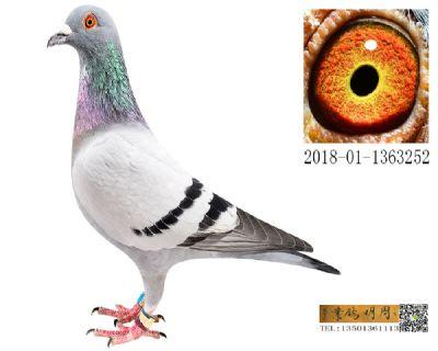 长阳四关鸽王151