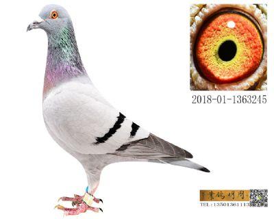 长阳四关鸽王194