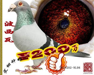 波西瓦   雄 5629202-NL06