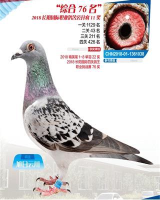 长阳鸽王11