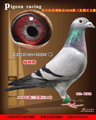 紫罗兰杨阿腾三关鸽王99名