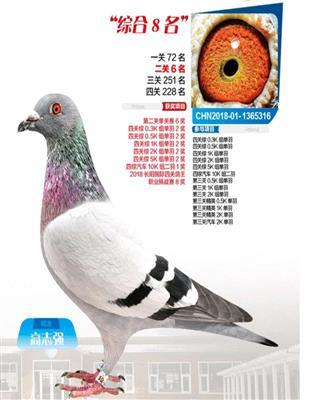 长阳国际鸽王8名