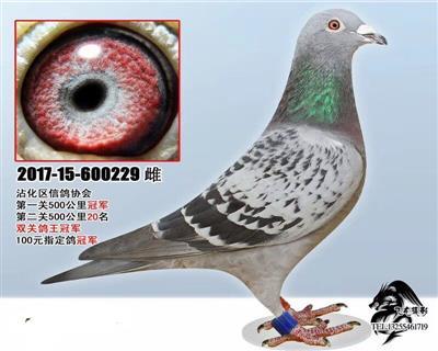 2017年山东沾化区信鸽协会双关鸽王冠军