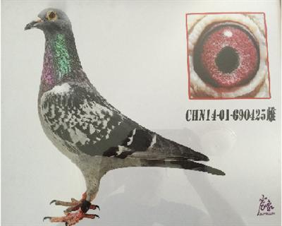 房山区信鸽协会300元特比环亚军