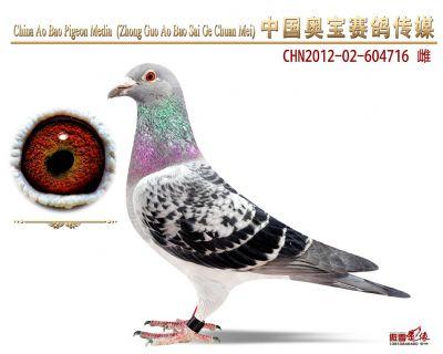 赛绩鸽604716