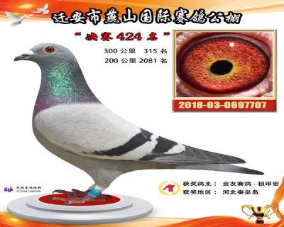 燕山奖鸽1