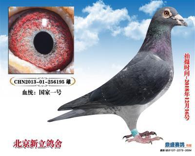 [国家一号]鸽王亚军直子