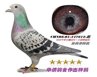 华侨鸽舍基础种鸽之一