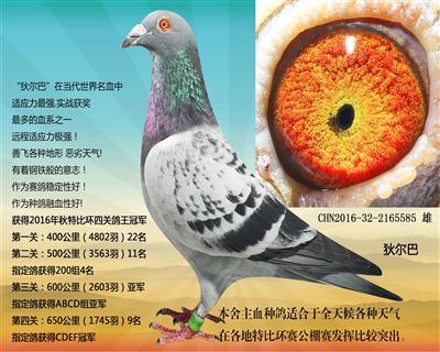 种鸽585