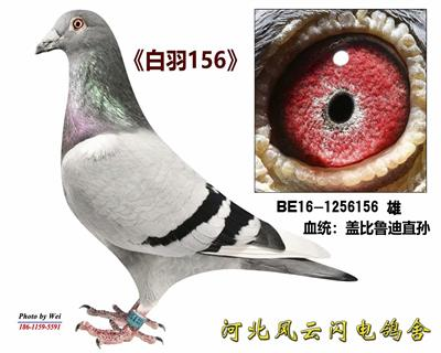 白羽156(2号雄)