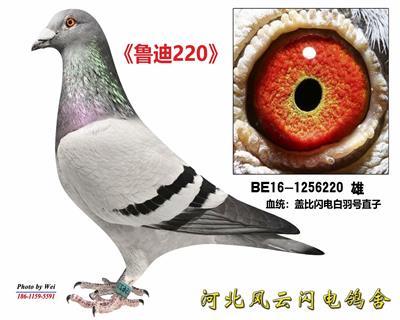 鲁迪220(4号雄)