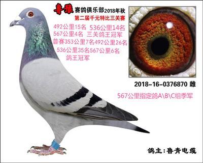 鲁豫赛鸽俱乐部三关鸽王冠军