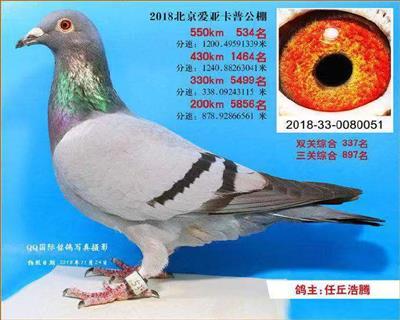 北京爱亚卡普国际赛鸽公棚决赛534名