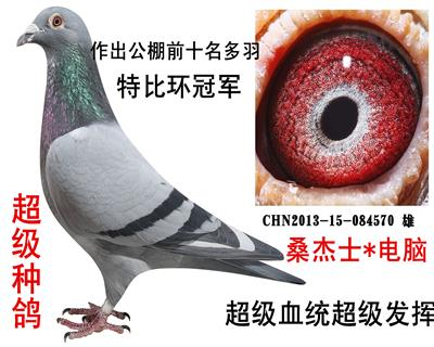 种鸽570