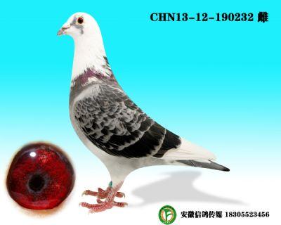 CHN13-12-190232 雌