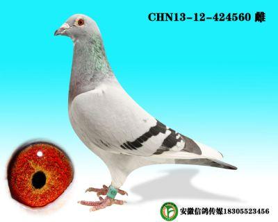 CHN13-12-424560 雌