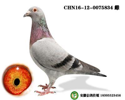 CHN16-12-0075834 雌