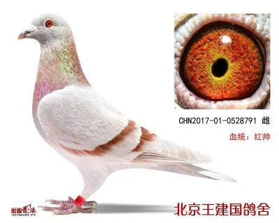 北京王建国鸽舍
