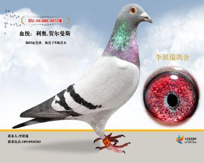 鸽王杨直孙
