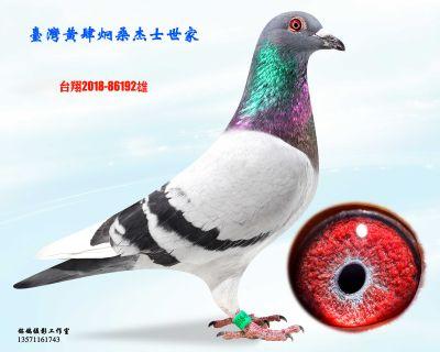 种鸽192