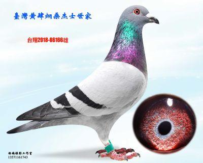种鸽166