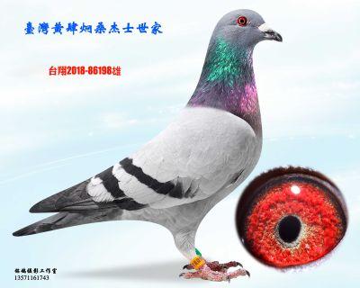 种鸽198