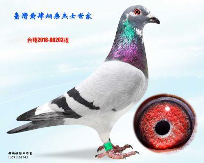 种鸽203