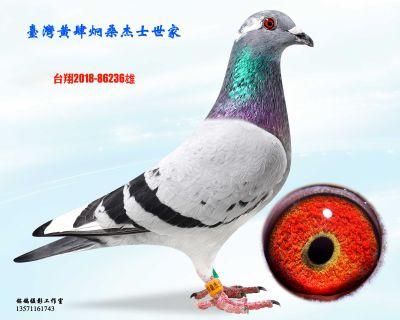 种鸽236
