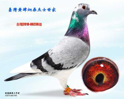 种鸽238