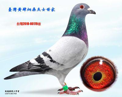 种鸽170