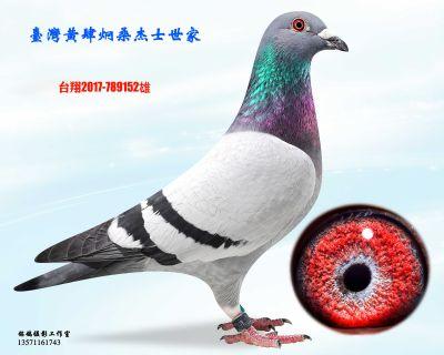 种鸽152