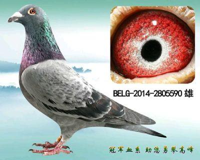 欧洲原舍,艾力克林伯格血系超级种鸽
