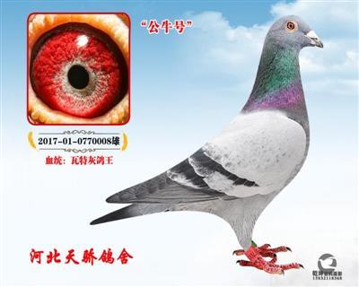 瓦特-公牛号【灰鸽王】